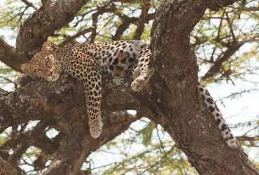 Selous-Leopard-August-2014