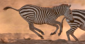 Tarangire National Park in East Africa has many herds of Zebra