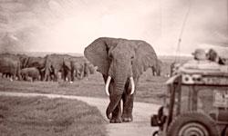 Bull Elephant in Amboseli