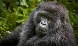 Female-Gorilla-copy