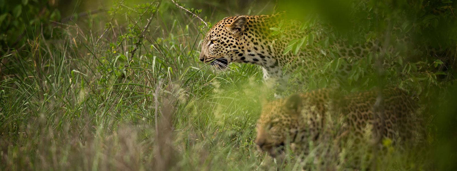 Leopard-and-Cub-1600x600-SFW