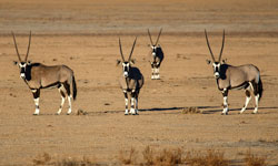 These great looking animals are some of the mammals we will see on our Namibia Desert Tour.