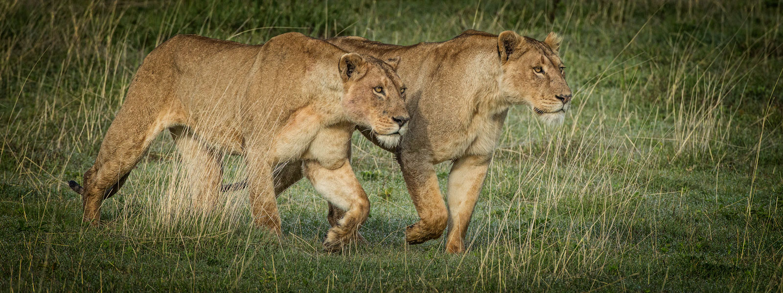 Two-Female-Lions-1600w-x-600h-copy
