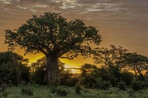 Baobab-Tree-750w-SFW-copy