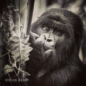 mountain gorilla trekking tips