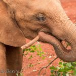 young elephant playing with stick - World Elephant Day - image by Dick Berry