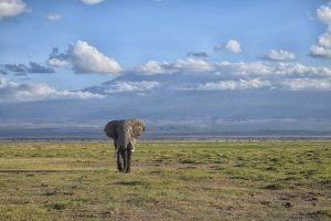 Bull elephant on savanna in Africa