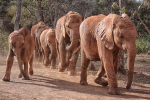 Support elephant conservation on safari - elephants walking