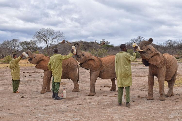 Support elephant conservation on safari - rescued elephants eating