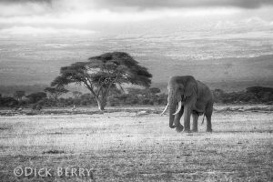 bull elephant on plains of Africa - Black and white - image by Dick Berry