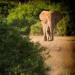 Lone bull elephant walking - World Elephant Day - image by Dick Berry