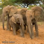 3 elephants - image by Dick Berry