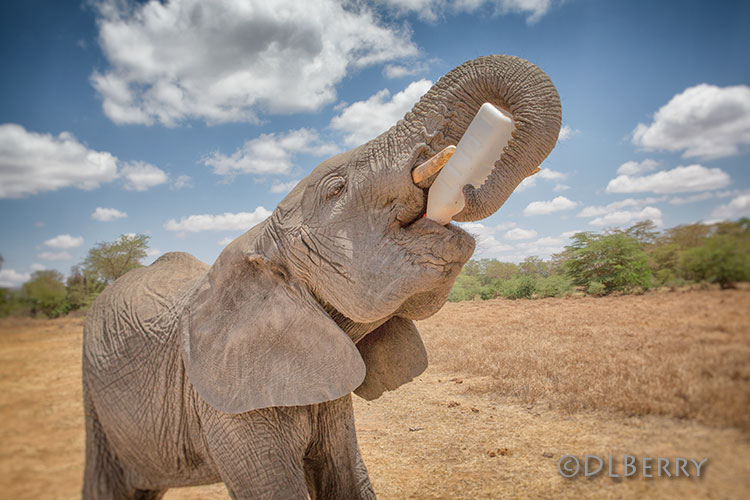 World Elephant Day 2021 - Orphaned elephant rescued by SWT drinking milk from bottle