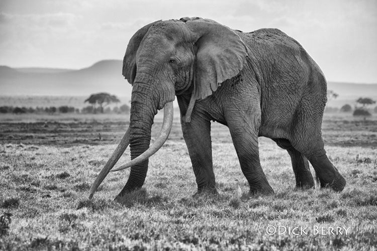 Tim the Tusker elephant - Photo by Dick Berry