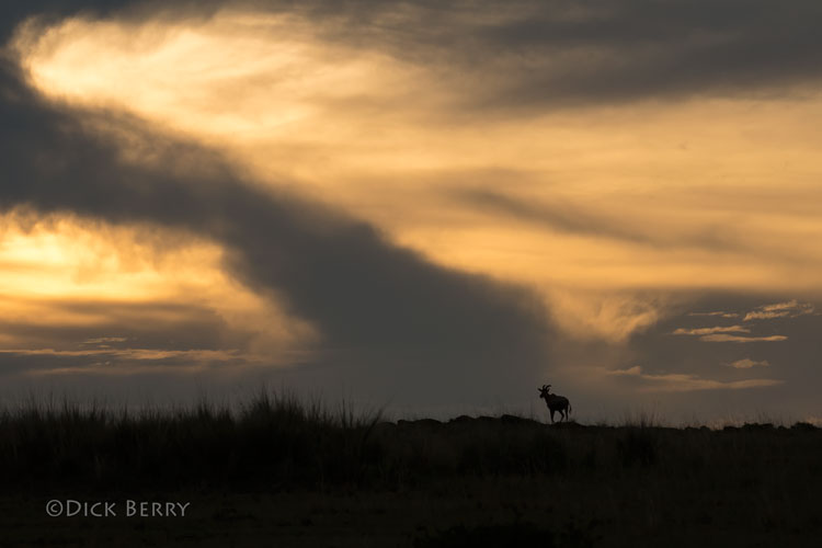 Topi in the Maasai Mara