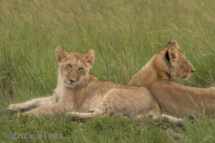 Young Lions in the Maasai Mara