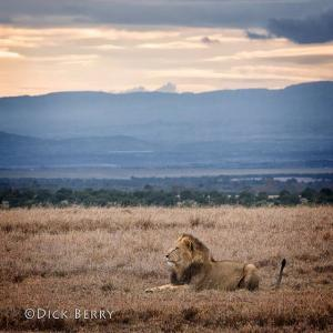 Lion in the Crater