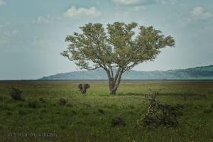 Serengeti Bull Elephant