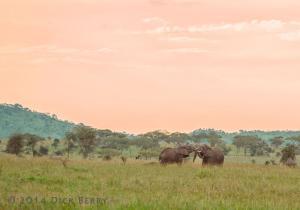 Serengeti Bulls