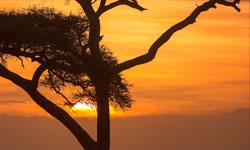 Acacia-Tree-250x150_SFW-copy