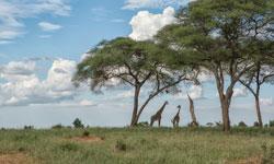 Giraffes250x150_SFW-copy