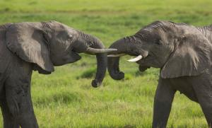 Young-elephants-playing-socializing